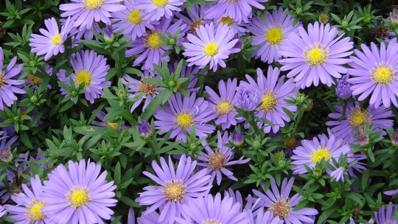 Image of asters.